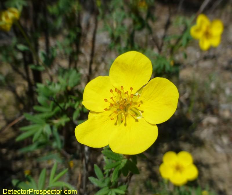fortymile-flowers.jpg